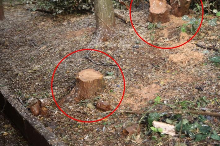 Bosque de Londrina corte de árvores em junho de 2016-06-27 11.25.43